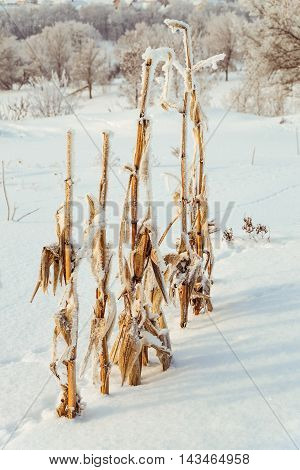 Winter background. Snow-covered bushes of corn in the frost.