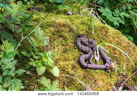 snake basking on a rock in the forest