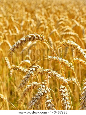 Ripe wheat in a crop field with selective focus on the foreground and golden sun.