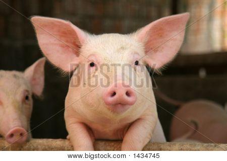 Cerdo lindo