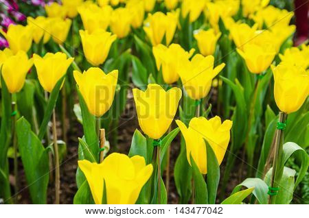 beautiful tulips flowers natural background in the garden