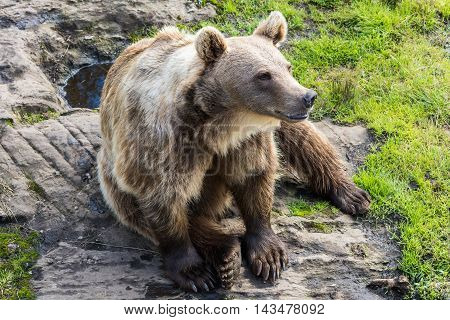 Large brown bear sitting down in a habitat.