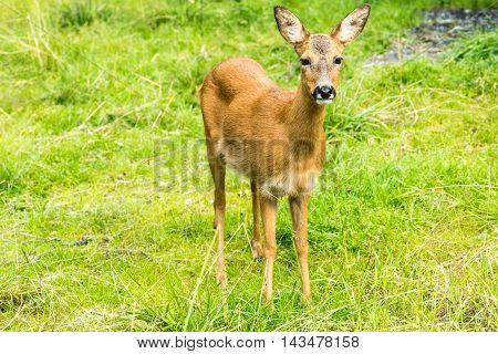 Deer (dama Dama)