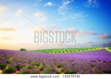 Lavender flowers field with summer blue and pink sunset sky, Provence, France, toned