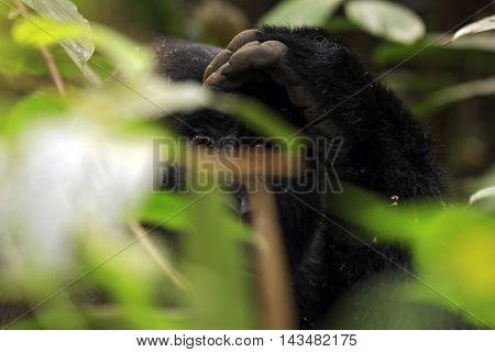 Eye Contact with a Mountain Gorilla (Gorilla beringei beringei) through the Foliage. Bwindi Impenetrable National Park Uganda