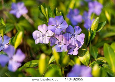 blue periwinkle flowers growing in the meadow