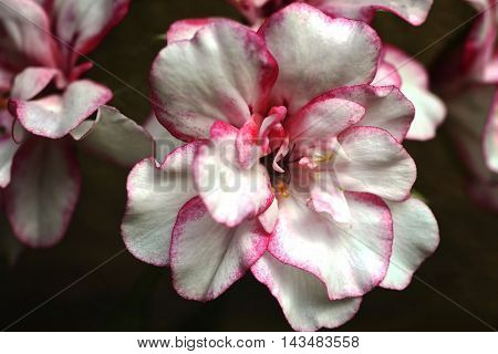 Pelargonium is a genus of flowering plants which includes about 200 species of perennials, succulents, and shrubs, commonly known as geraniums (in the United States also storksbills).