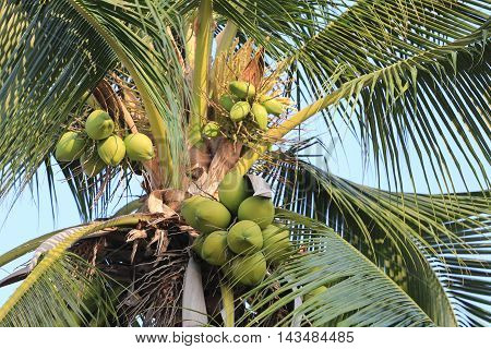 coconut fruit on coconut tree in garden ThailandThis plant of palm and found throughout in seaside tropical.