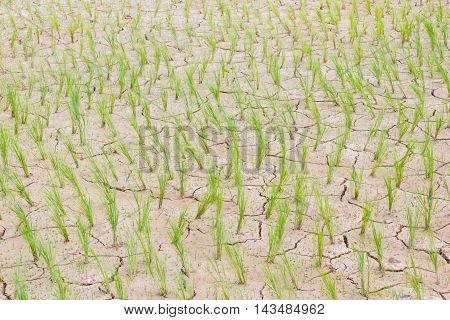 horizontal photo of dying young green rice on cracking field.