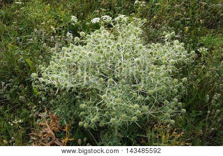 Photo shows field eryngo (Eryngium campestre) plant with flowers