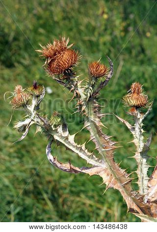 Dried thistle with large prickles on green blurry background