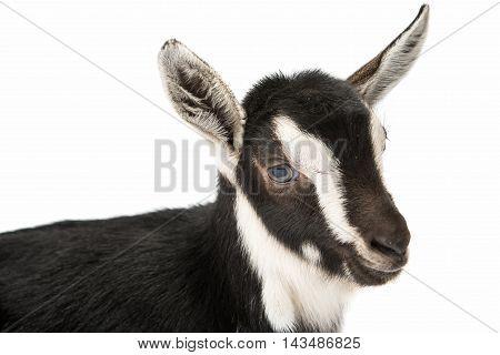 little goat farm animals isolated on white background