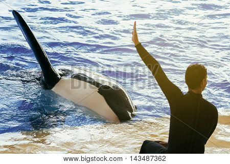 Captive killer whale with his trainer during a show