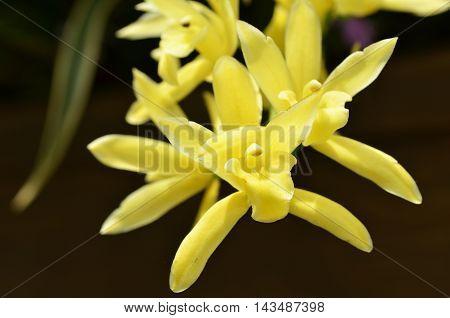 Blossom Vanda Orchid