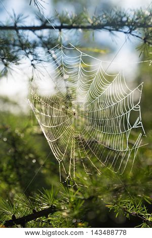 web with water drops stretched on larch needles backlight