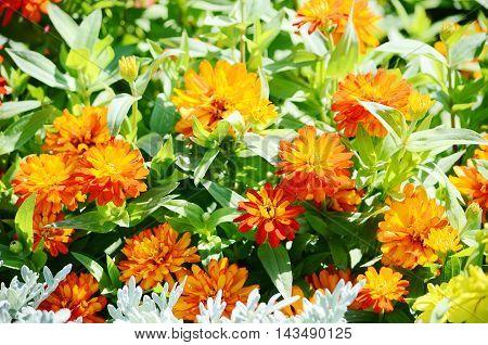 closeup red Marigold flower in the garden