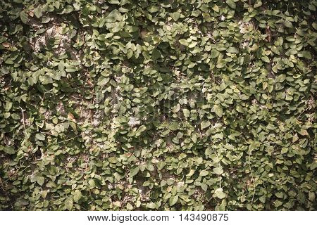 Image Of Leaf Wall For Background Usage.