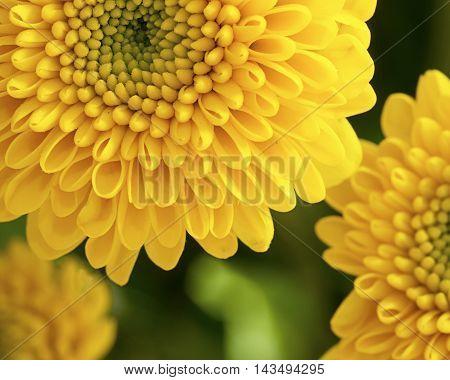 Yellow cut chrysanthemum flowers  in close up