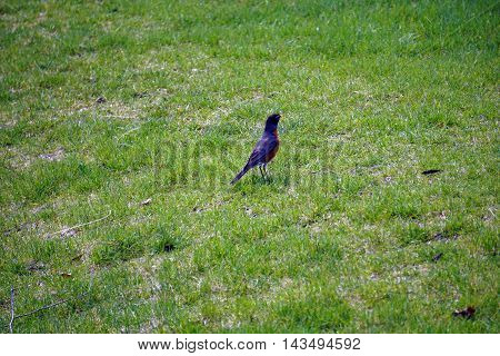 An American robin (Turdus migratorius) hunts for worms on a lawn in Joliet, Illinois during the Spring.