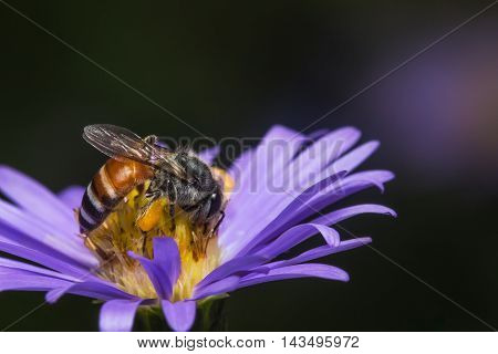 Bee eating sucking the violet flower's syrup in the garden