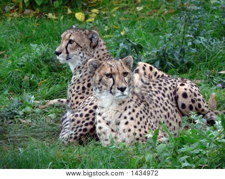Two Cheetahs.