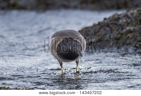 Brent Goose In The Sea, Close Up