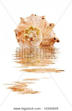 A lovely sea shell, reflected in water, with white background