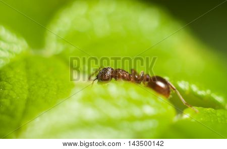 Ant travels in search of food macro