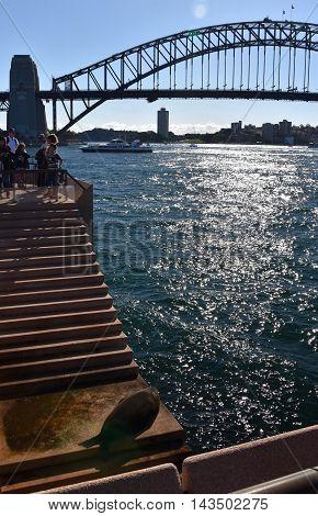 Sydney, Australia - Aug 21, 2016. New Zealand fur seal sunbathing on the Steps of the Sydney Opera House.