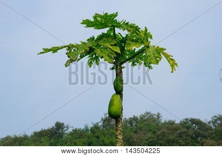 A papaya tree in the Chiang Rai area of Northern Thailand.