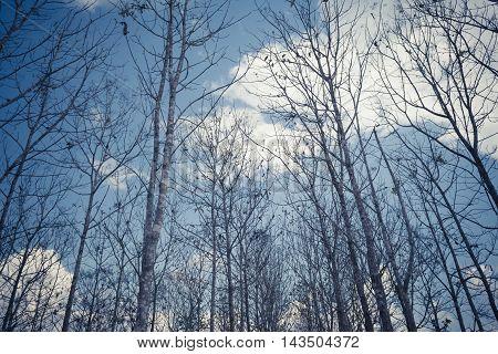 vintage tone image of teak forest on daytime for background.
