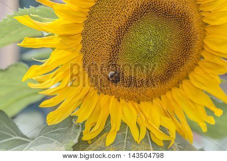 Shaggy bumblebee collects pollen yellow in a sunflower hat