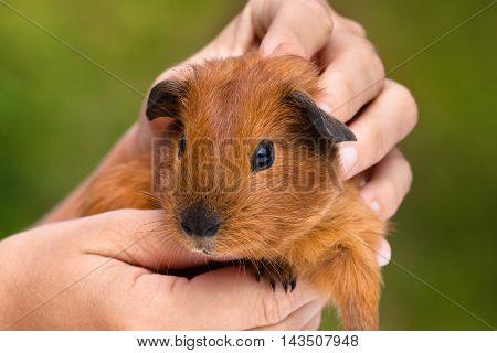 hands stroking young guinea pig on green blurred background