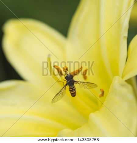 Stunning Macro Close Up Of Common Wasp Insect On Trumpet Lily Flower In Summer
