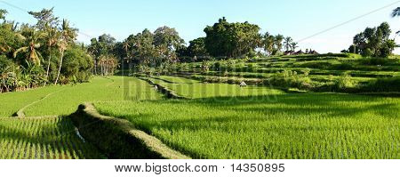 Balinese rice terraces, panoramic view (large file)
