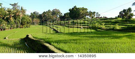 Balinese rice terraces, panoramic view (large file)
