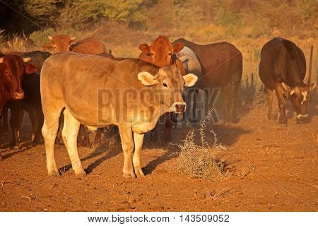 Free ranging cattle in late afternoon light, southern Africa