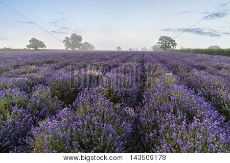 Beautiful Dramatic Misty Sunrise Landscape Over Lavender Field In English Countryside