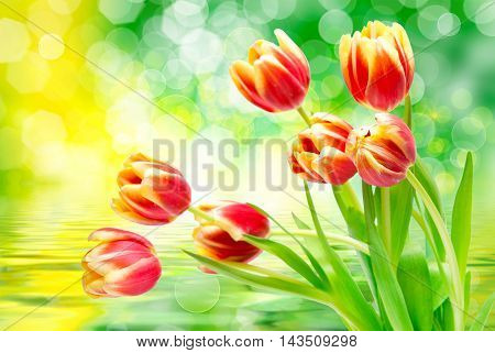 Close up of fresh beautiful tulip flowers