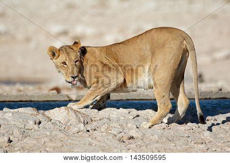 Lioness (Panthera leo) drinking water, Etosha National Park, Namibia
