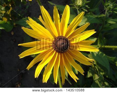 Coneflower (rudbeckia) yellow flower on a summer day.