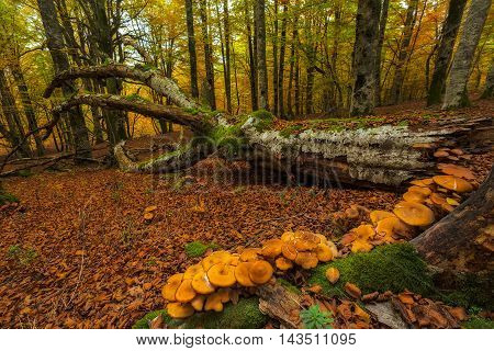 Mushrooms in a fallen beech in autumn forest