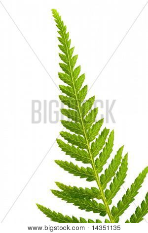 Tip of a fern frond, in closeup, isolated on white.