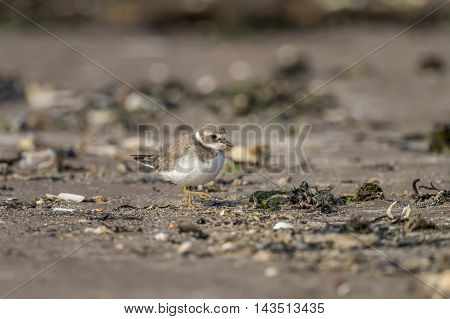 Ringed Plover, Charadrius Hiaticula, Standing On The Beach