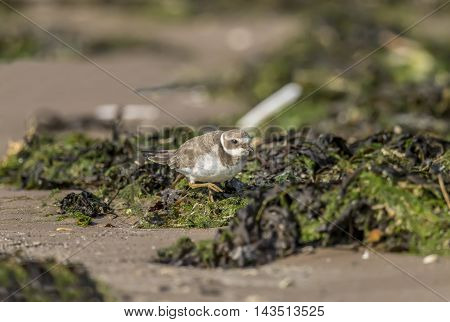Ringed Plover Standing On The Seaweed On The Beach