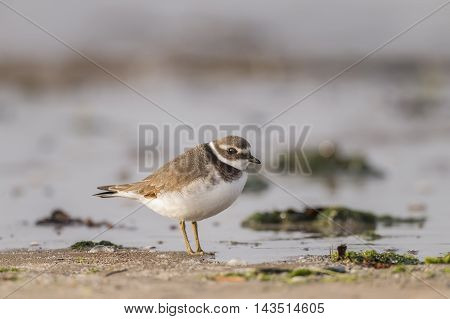 Ringed Plover Standing In Front Of The Sea