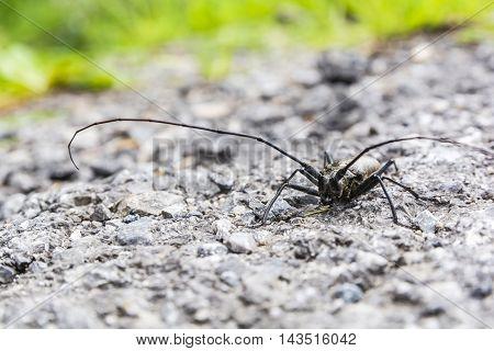 Close-up - Beetle (monochamus Sartor).