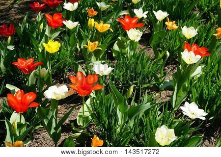 Red, yellow and white tulips bloom together in a garden in Joliet, Illinois during April.