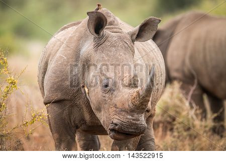 Starring White Rhino With Oxpeckers In The Kruger.