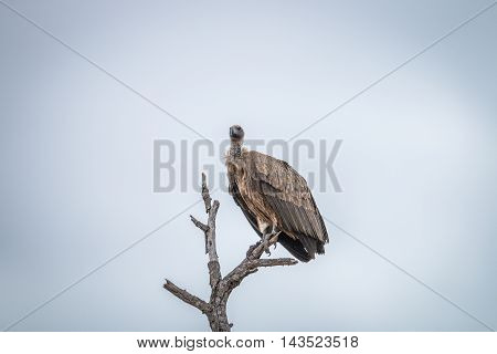 White-backed Vulture Sitting On A Branch In The Kruger.
